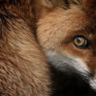 Fox-Glance-Sam-Morris-National-Geographic-Photo-Contest-2013