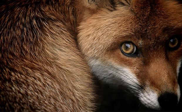 Fox-Glance-Sam-Morris-National-Geographic-Photo-Contest-2013